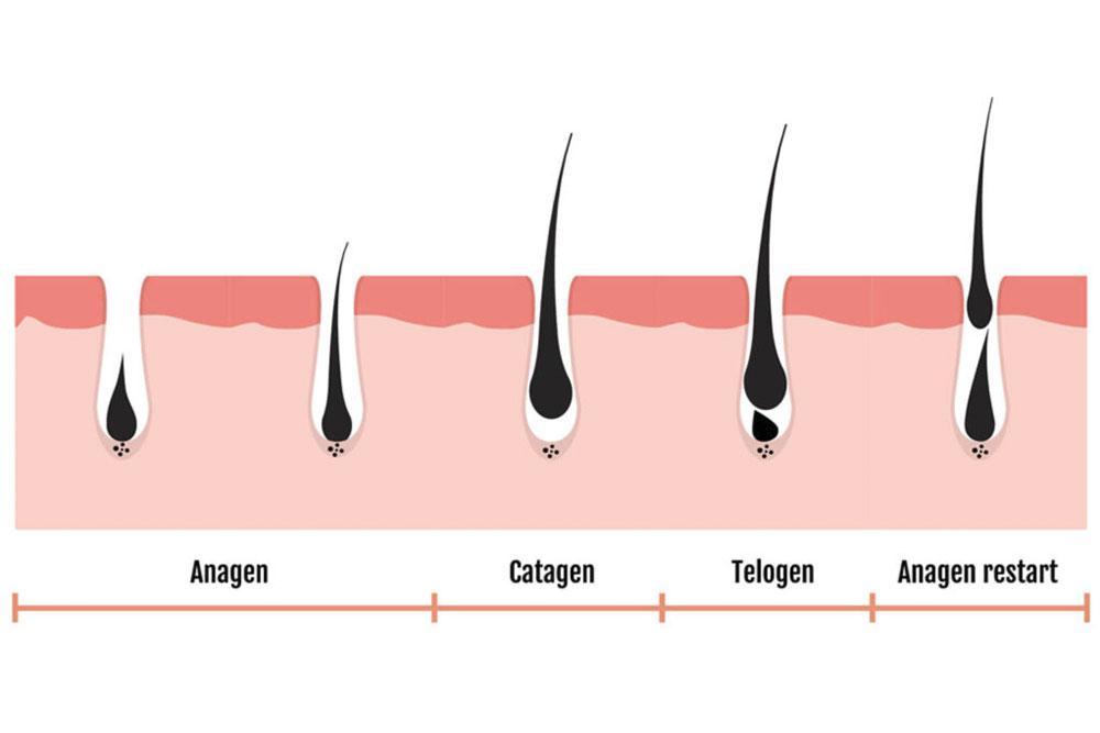 Fases del crecimiento del vello
